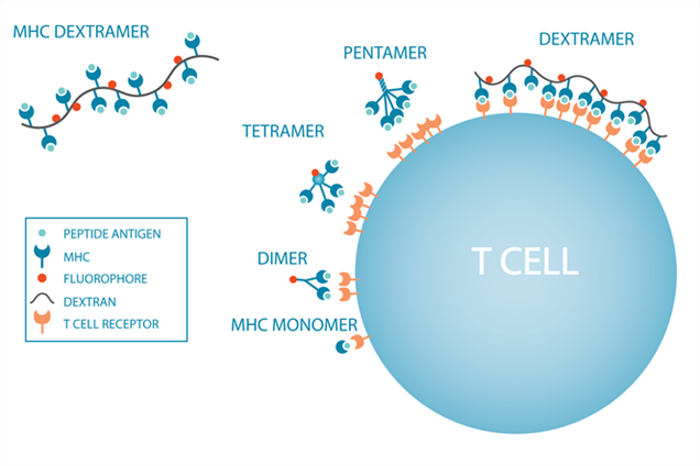 Schematic drawing of MHC multimers binding to T-cell receptors on the surface of a T cell.